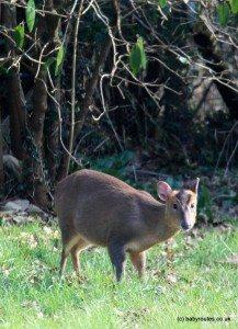 Muntjac deer in garden, Oxforshire