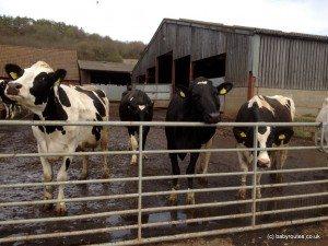 cows, caversham to mapledurham pushchair walk, Oxfordshire