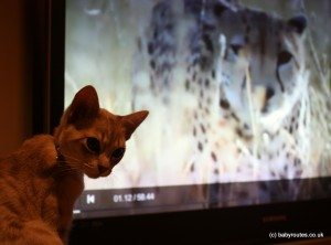Cat watching nature programme