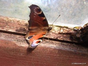 Peacock butterfly warming up in greenhouse
