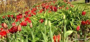 Tulips at Holt Farm Organic Garden