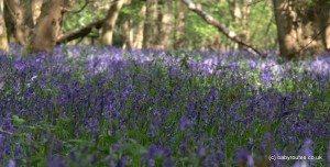 Carpets of bluebells in Binfield Heath woods