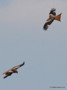 A pair of red kites flying