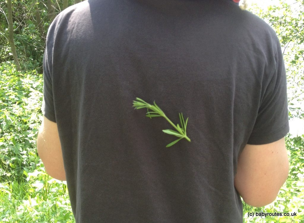 Goose grass sticking on clothes