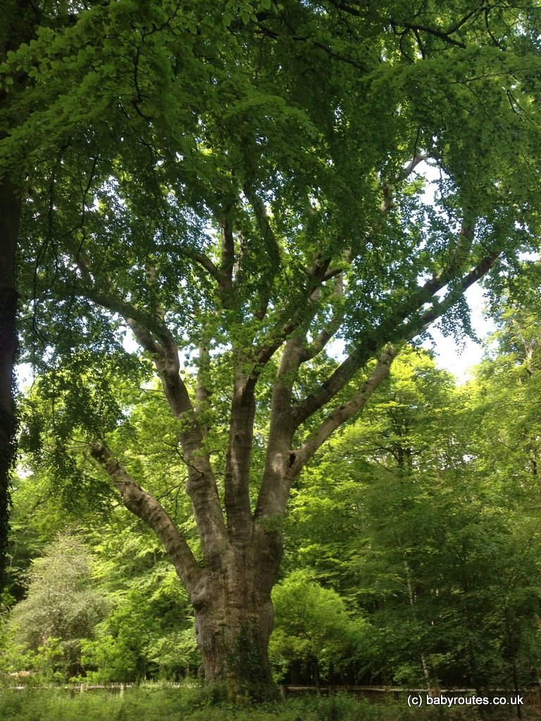 Knightwood Oak, Millyford Bridge Triangle Walk, New Forest, Hampshire