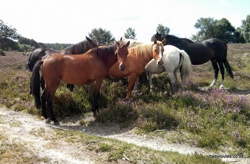 New Forest ponies, Lyndhurst short loop pushchair walk