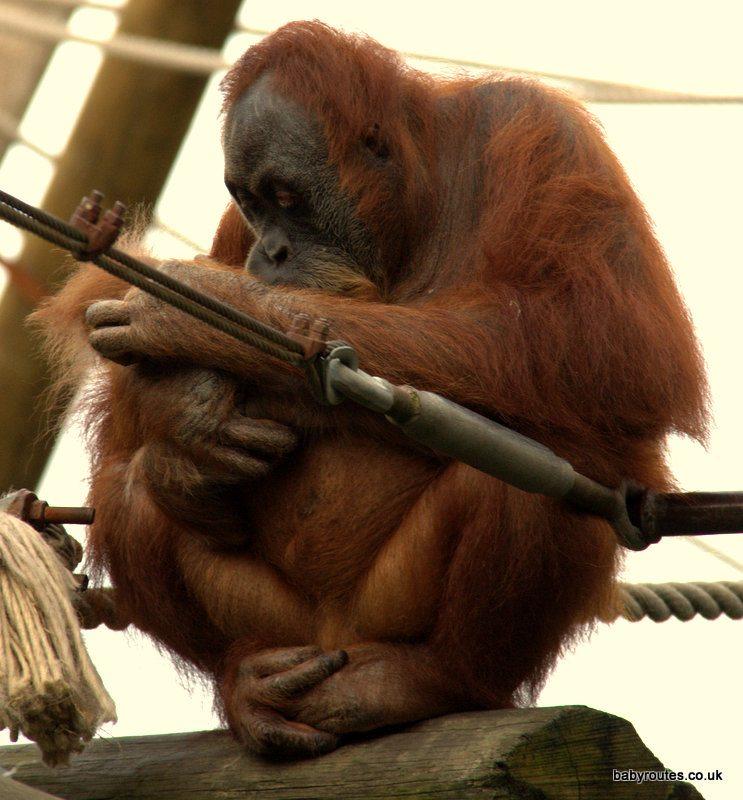Orangutans, Durrell Wildlife Park Jersey