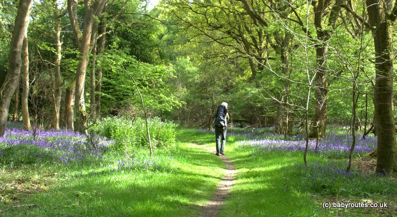 Woodland bluebell wandering at Nettlebed