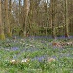 Cowleaze Woods Bluebell Walk