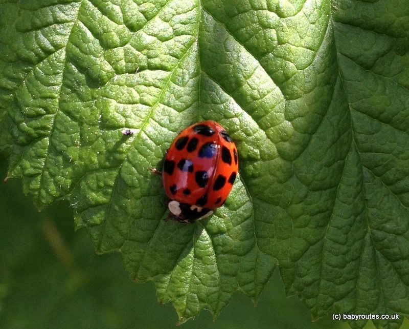 National Insect Week - Harlequin Ladybird