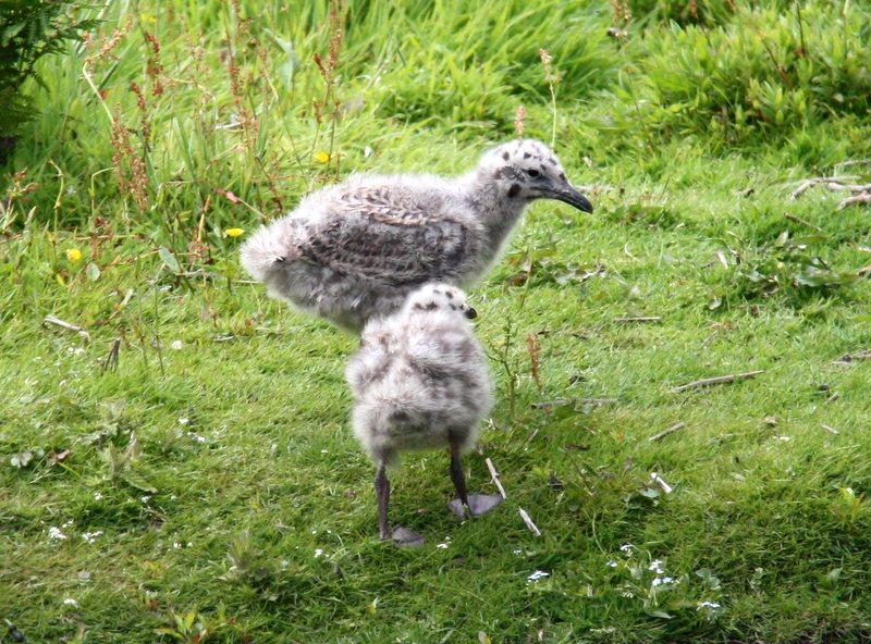 Seagull chicks, Skomer Island, Wales