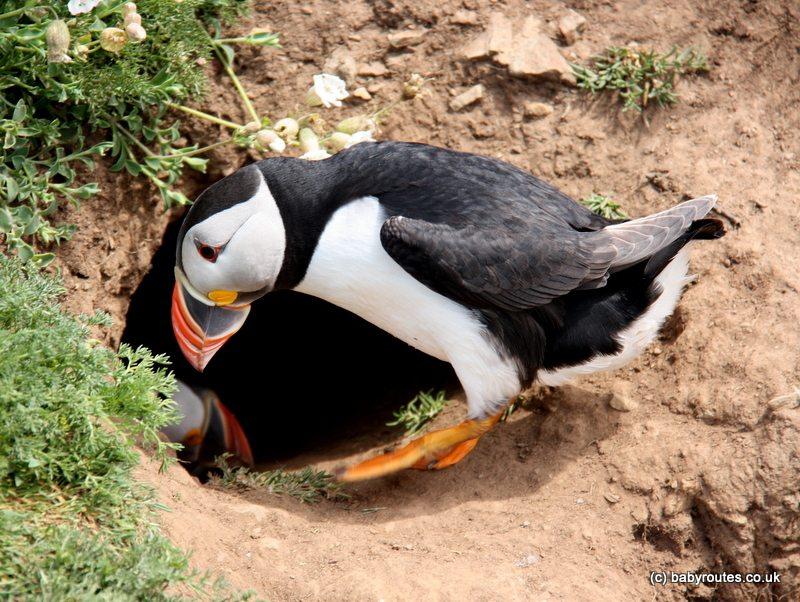 Puffin in its burrow, Skomer Island, Pembrokeshire, Wales