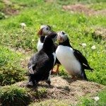Skomer Island Puffins, Pembrokeshire, Wales