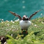 Puffin close-up, Skomer Island, Pembrokeshire, Wales