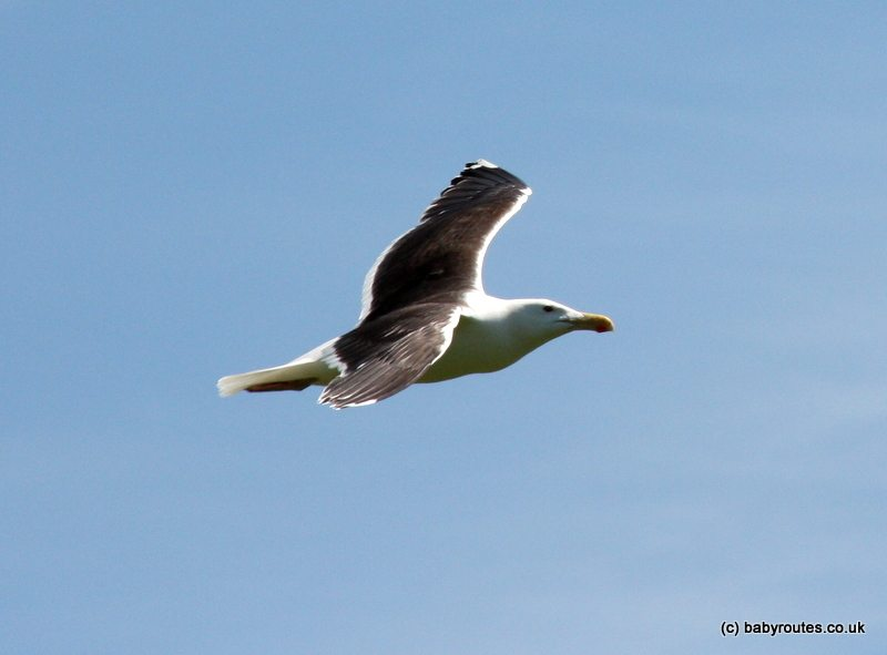 Black-backed gull Skomer Island, Pembrokeshire, Wales