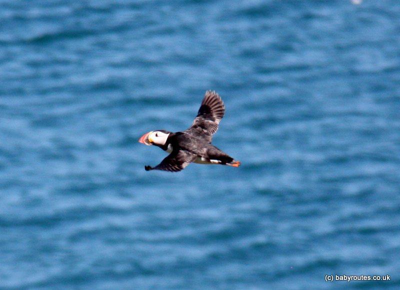 Puffin in flight, Skomer Island, Pembrokeshire, Wales