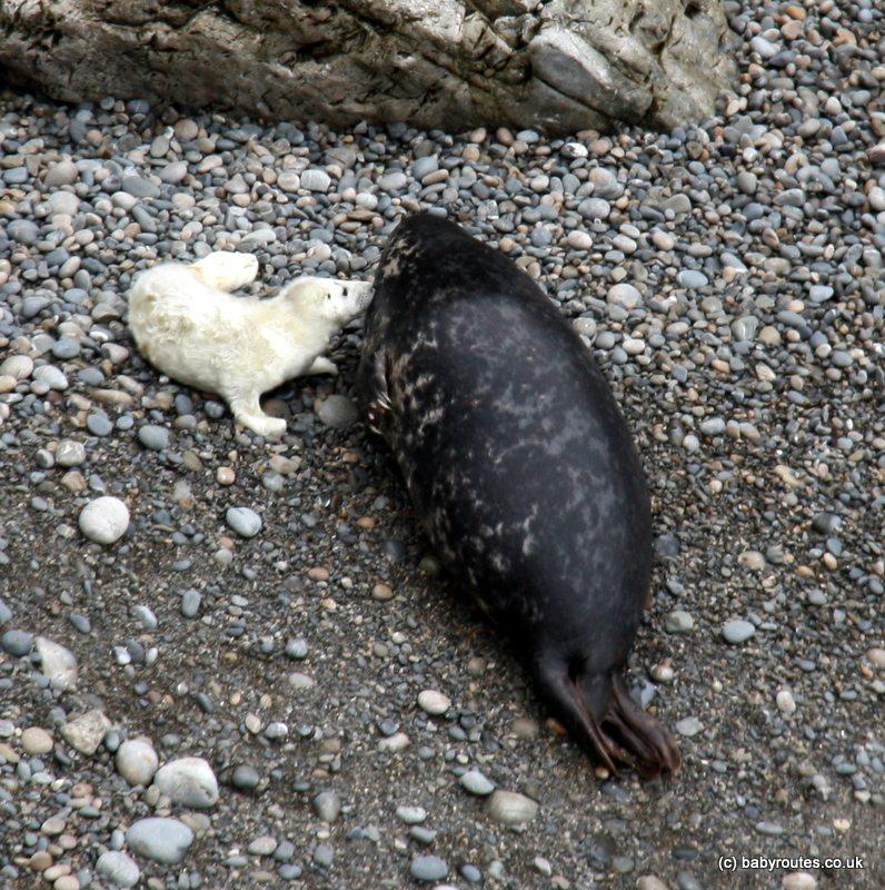 seals at Martins Head, Marloes, Pembrokeshire, Wales