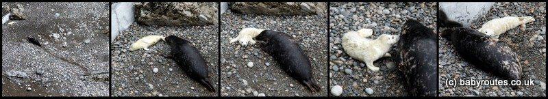 Seals and seal pups at Martins Haven, Pembrokeshire, Wales