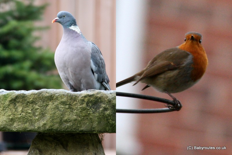 Robin and woodpigeon