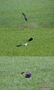 Lapwings, Baby Routes