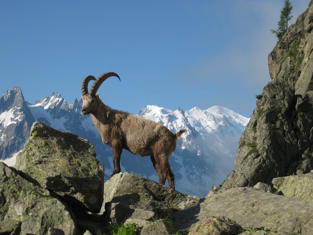 Ibex Mont Blanc