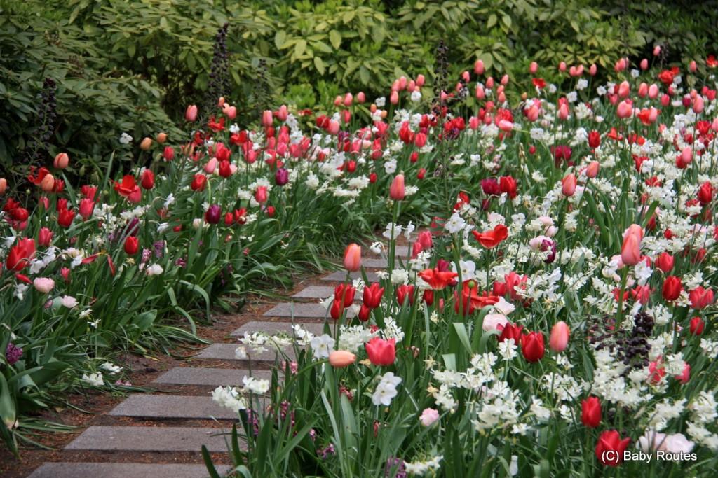 Keukenhof tulips, Netherlands