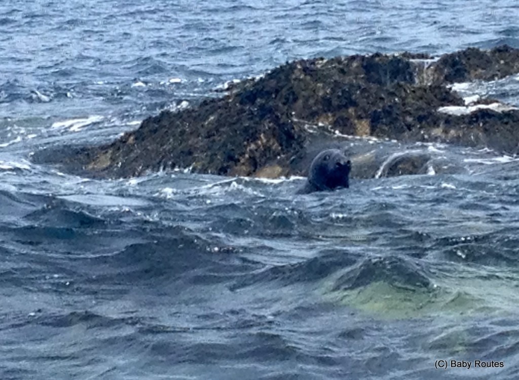Seals, Isles of Scilly