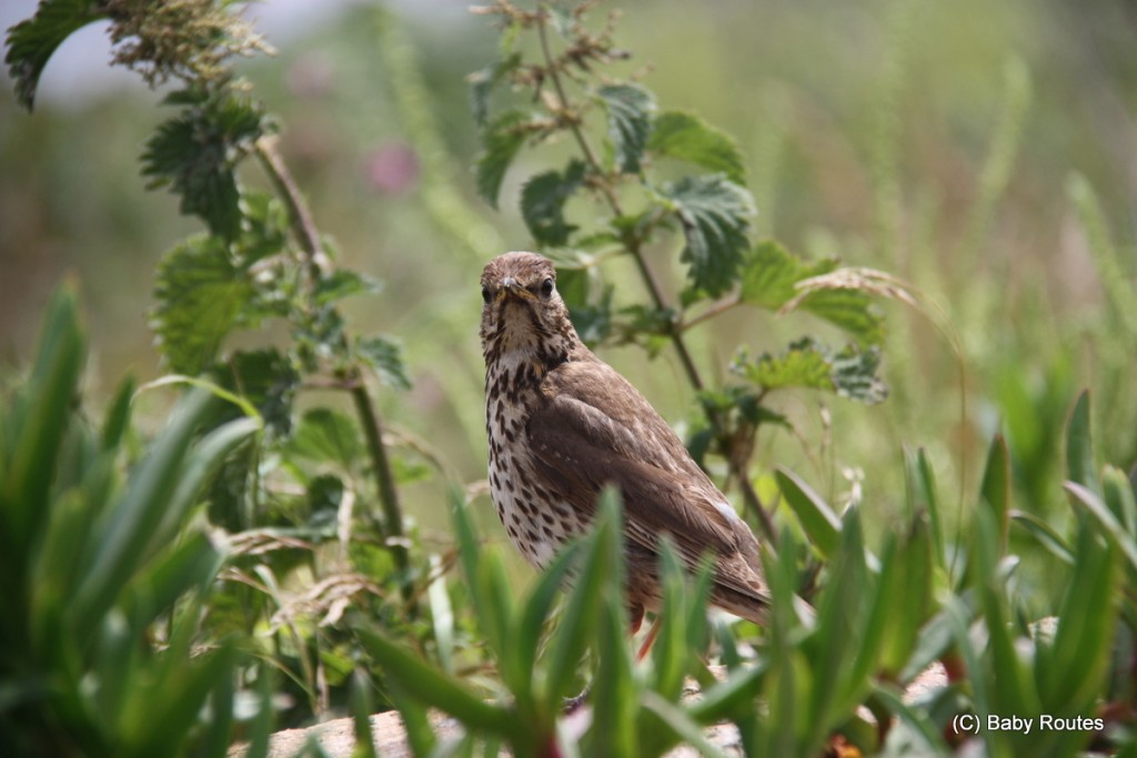 Thrush. Roo looking out over Tresco, Isles of Scilly Wildlife. and  Travel with Children