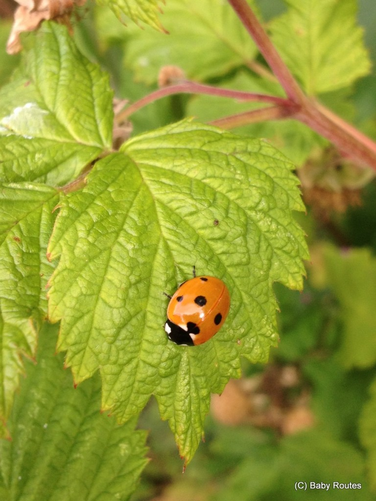 LAdybird, Green gardening with ladybirds and lacewing
