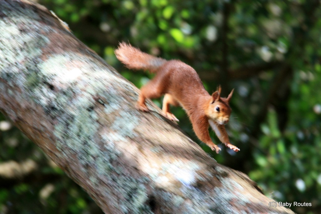 Red Squirrels, Tresco, Isles of Scilly Wildlife. and  Travel with Children