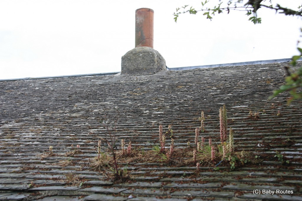 Plants growing on a roof, St. Martin's, Isles of Scilly