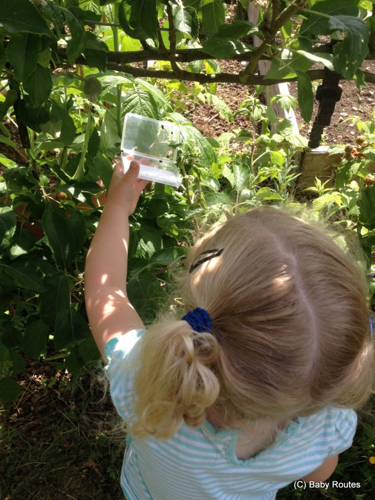 Releasing the ladybirds, Green gardening with ladybirds and lacewing