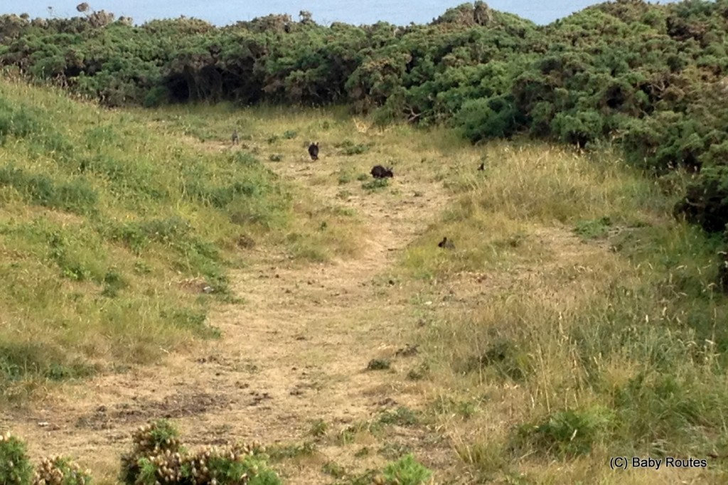 Black rabbits, Roo looking out over Tresco, Isles of Scilly Wildlife. and  Travel with Children