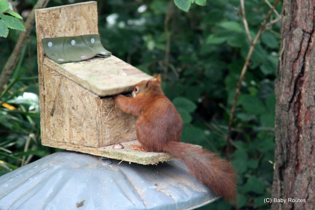Red squirrel trying to get nut out of feeder, Tresco, Isles of Scilly Wildlife. and  Travel with Children