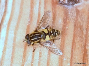 Hoverfly #summerbughunt