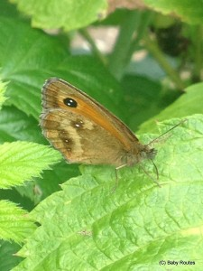 Gatekeeper butterfly #summerminibeasts