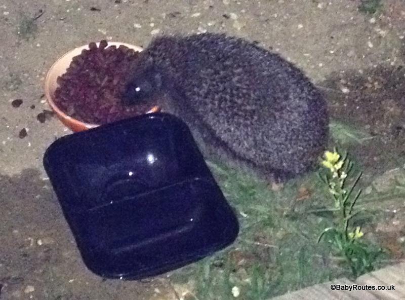 Hedgehog feeding