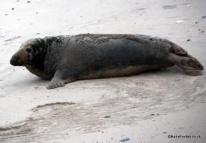 Adult grey seal, Horsey, Norfolk