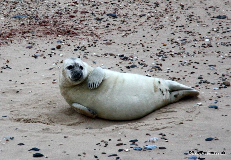 Grey seal pup, Horsey, Norfolk