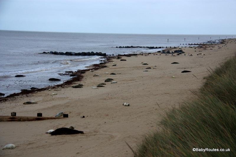 Horsey beach grey seals, Norfolk Winter Weekend