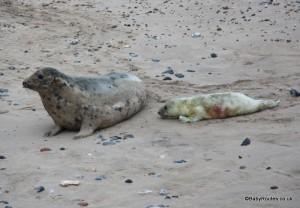 Mother and pup grey seals at Horsey, Norfolk