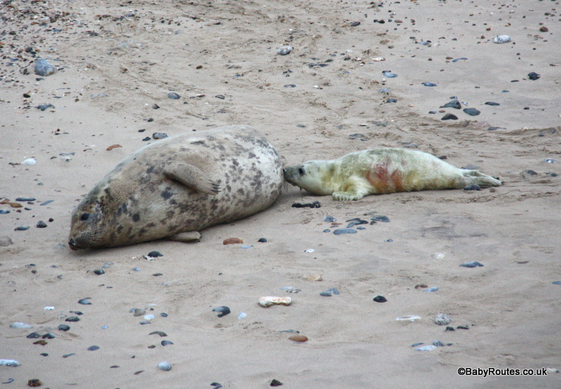 Nursing grey seal, Horsey, Norfolk Winter Weekend