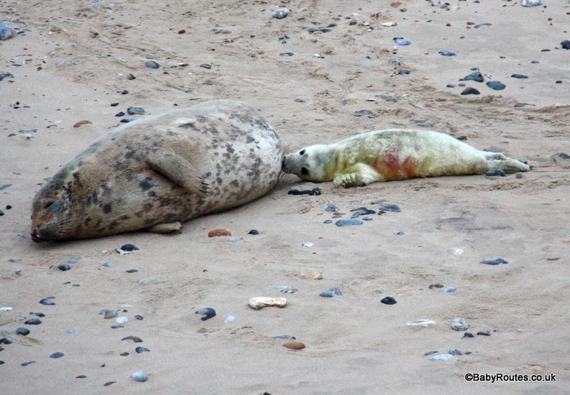 Nursing grey seal and pup, Horsey, Norfolk