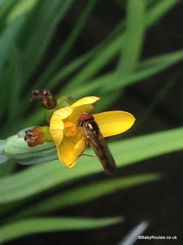 pond pollinators