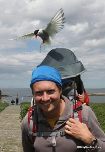 bombed by arctic terns, Farne Islands with children, Northumberland