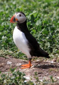 puffin, Farne Islands with children, Northumberland