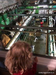 Watching the cows being milked from the cafe at Low Sizergh Farm, Sizergh, Lake District M6 alternative motorway stop-offs.