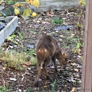 Muntjac deer, Big Garden Birdwatch 2018