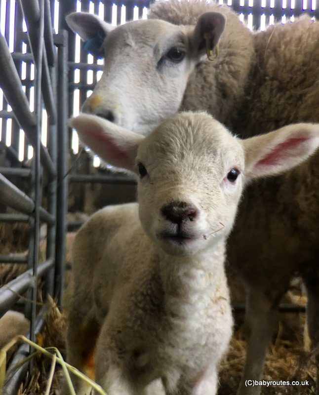 Getting up close with the new spring lambs.Getting up close with the new spring lambs. Lambing Weekend, Earth Trust