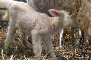 Lambing Weekend, Earth Trust